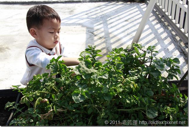 小罡採芝麻菜