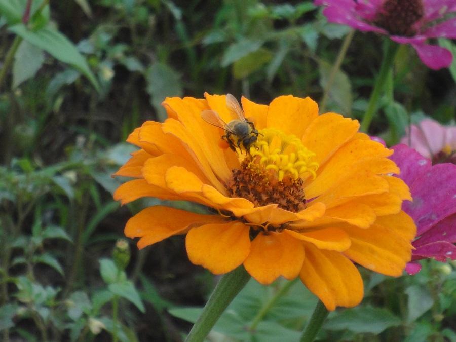 蜜蜂吸花蜜
