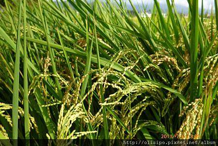 宜蘭的稻田12.JPG