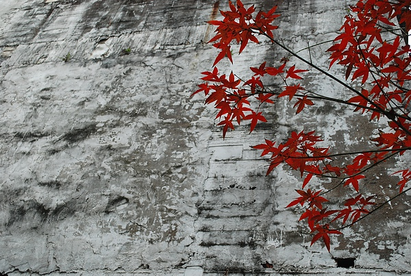 小屋子青楓04.JPG