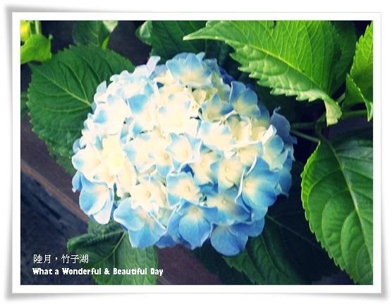 20130601追繡球花-1