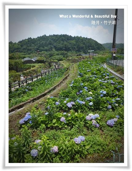 20130601追繡球花-3