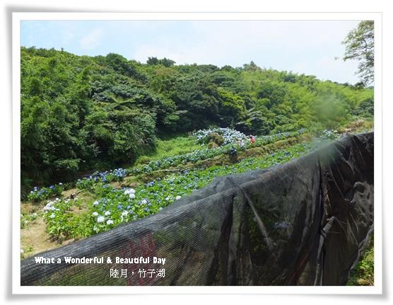20130601追繡球花-6