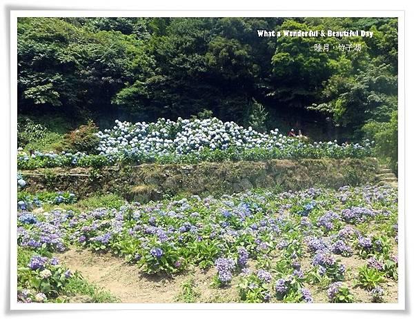 20130601追繡球花-9