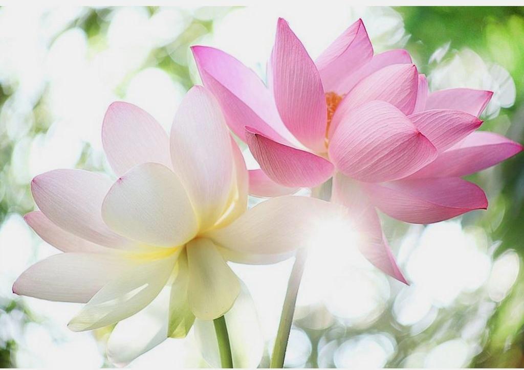 lotus (2).jpg