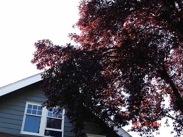 整棵樹的葉子都是紅的呢~
