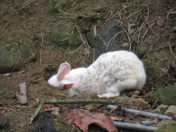 兔兔挖草根