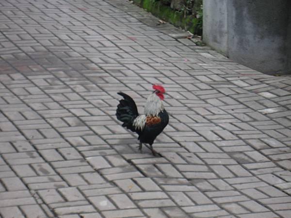 公雞逛大街
