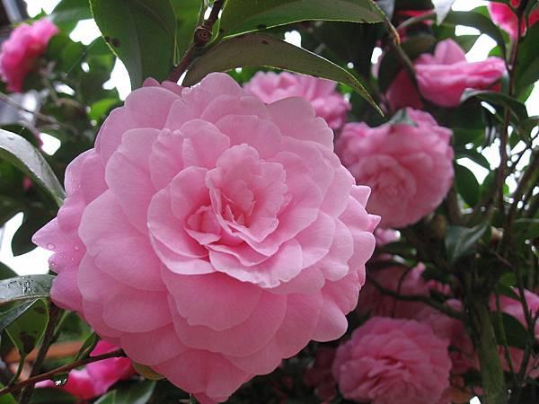 每一朵茶花都開得好美