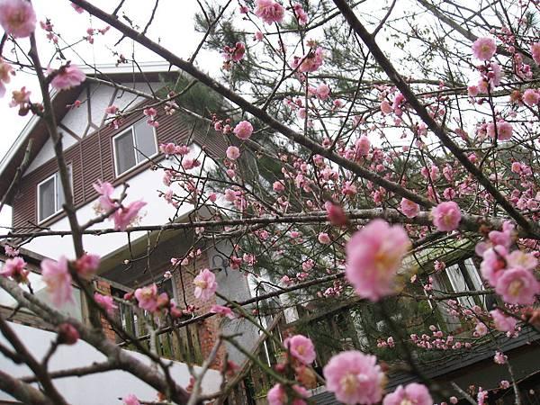 福田瓦舍與門口的梅花