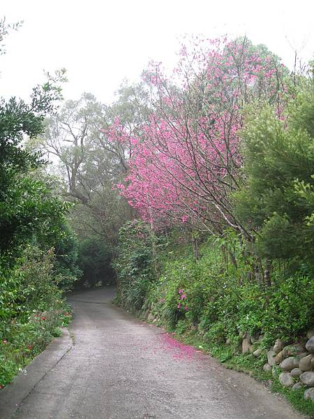 入口的櫻花樹