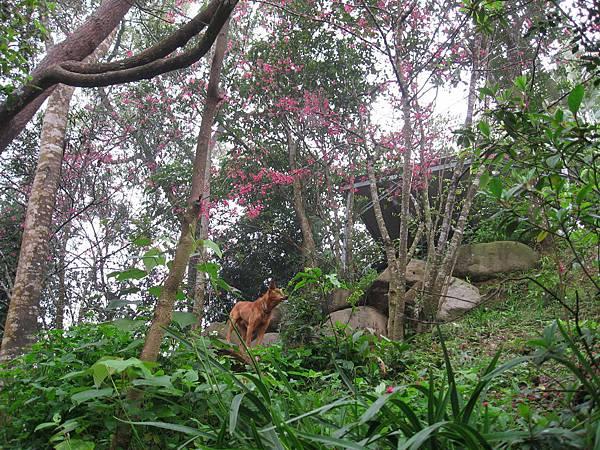 櫻花樹下有隻愛撒嬌的狗