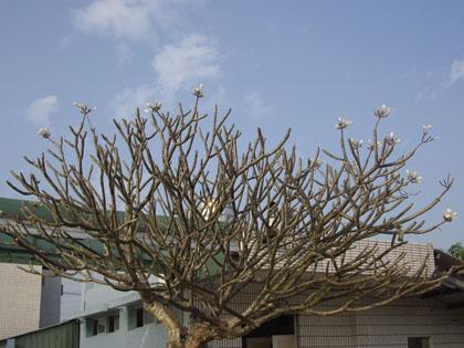 美好記憶中的雞蛋花樹