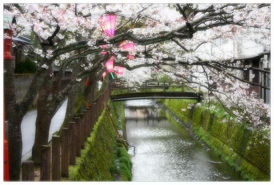 01踏過櫻花第幾橋.JPG