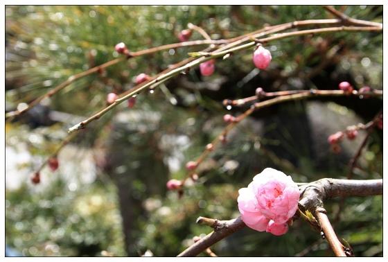 07春到枝頭已三分.JPG