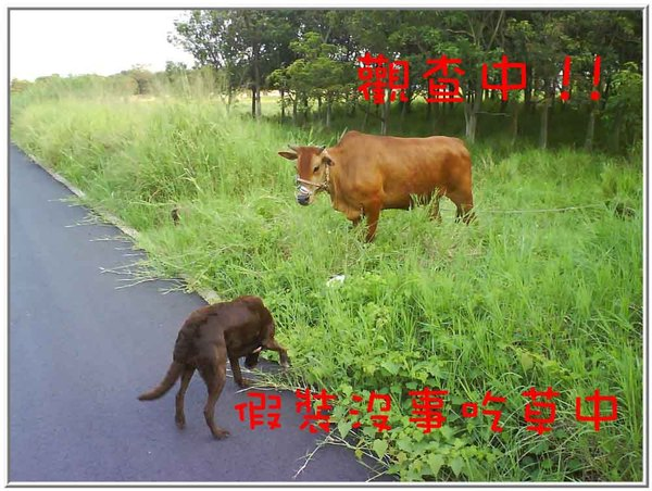 onor與牛13.jpg
