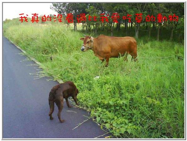 onor與牛14.jpg