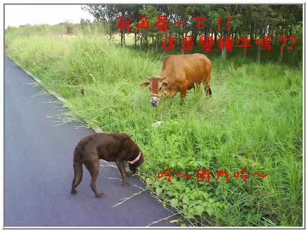 onor與牛15.jpg