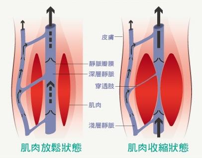 肌肉收縮幫助血液回流圖