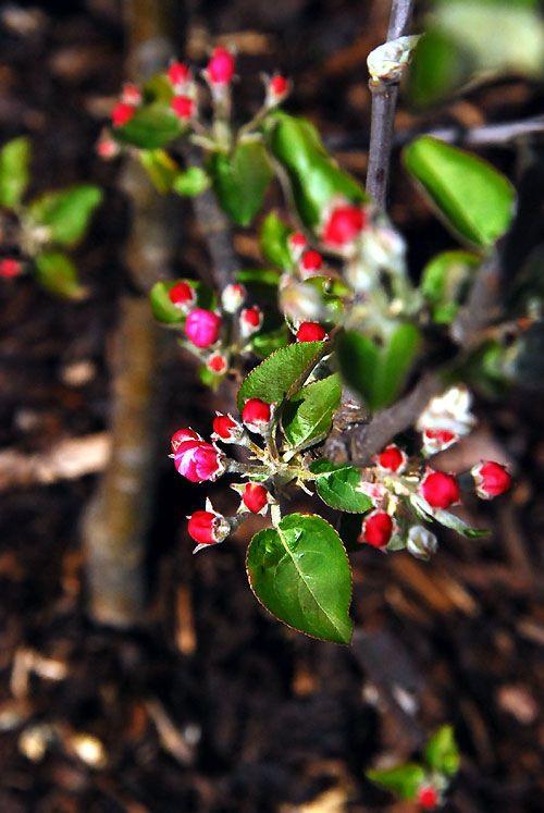 20120411蘋果樹開花.jpg