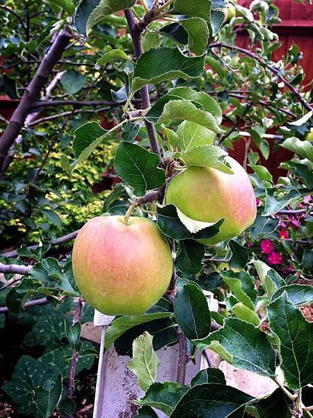 0813拳頭大的蘋果.jpg