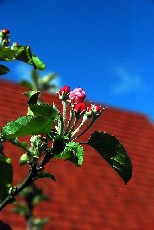 20120411蘋果樹開花_1.jpg