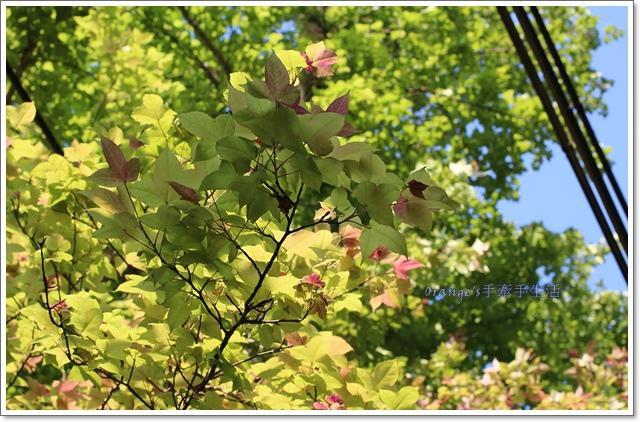 桐花公園8.JPG