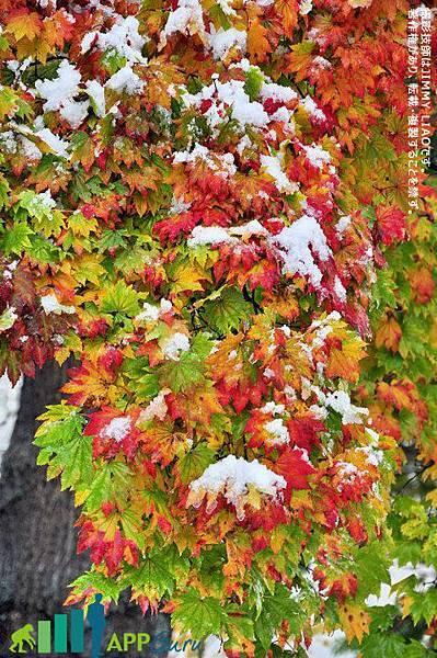 北海道 札幌 北海道大學楓紅雪景