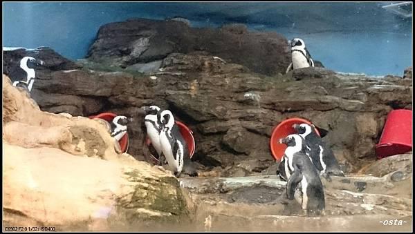 37DSC_0473--黑腳企鵝.JPG