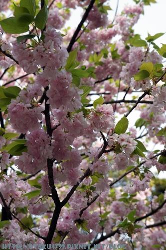 兼六園-櫻花3