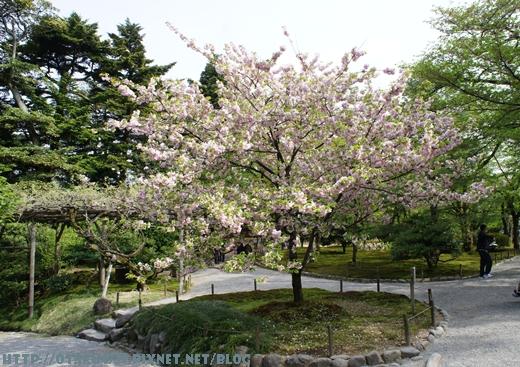兼六園-菊櫻1