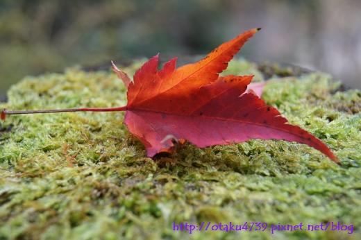 抱返溪谷-楓葉