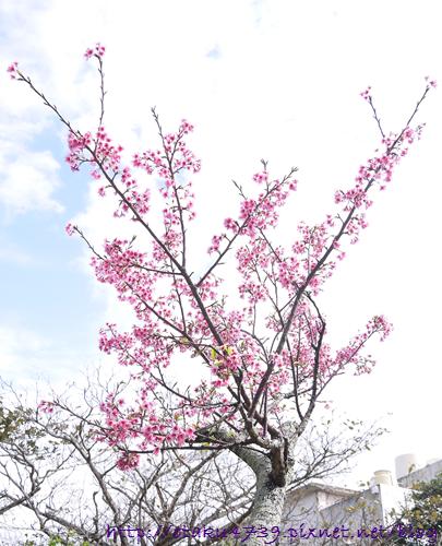與儀公園-櫻花4