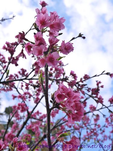 與儀公園-櫻花2