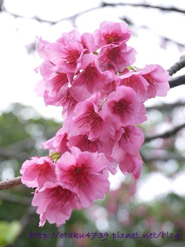 與儀公園-櫻花3