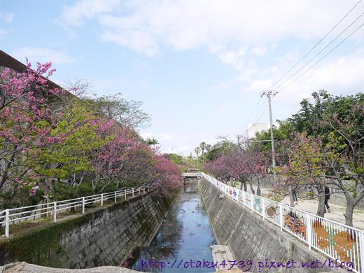與儀公園-櫻花5