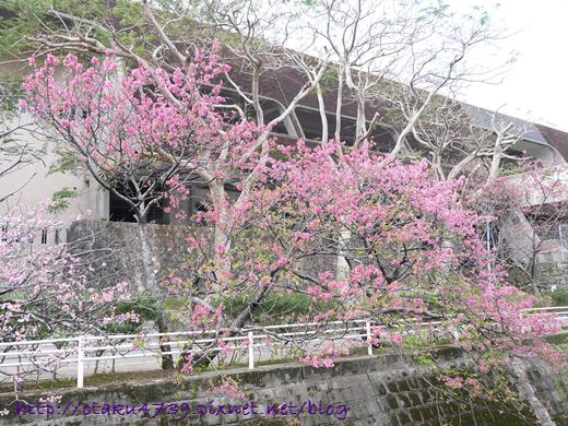 與儀公園-櫻花6