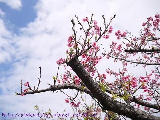 與儀公園-櫻花7