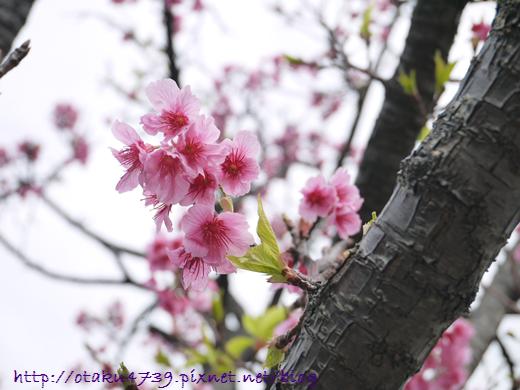 與儀公園-櫻花8