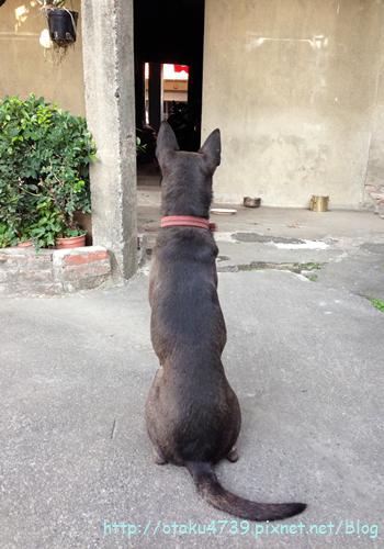 等門阿統犬