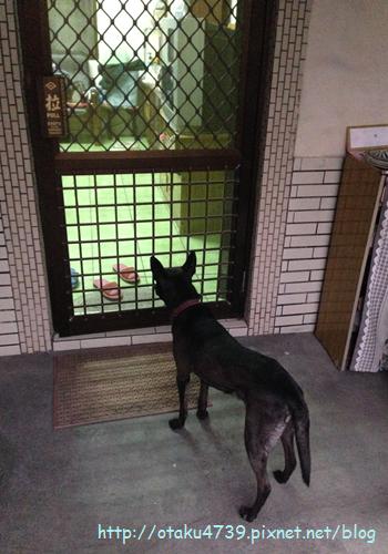 等吃阿統犬