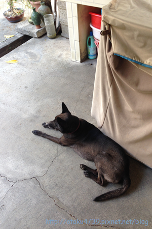 門口的阿統犬1