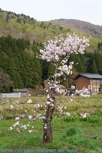合掌村-櫻花7