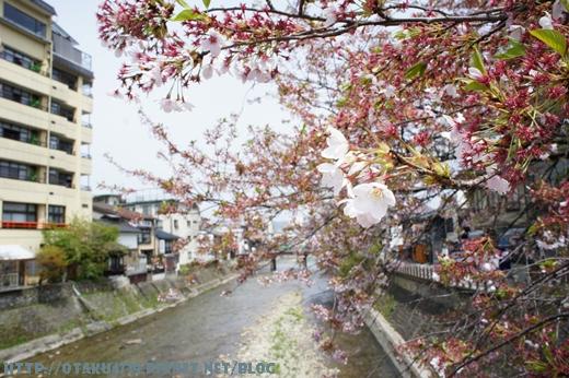 高山三之町古街-櫻花