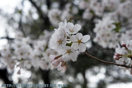 合掌村-櫻花5