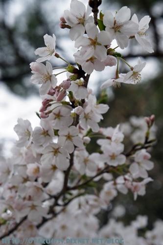 合掌村-櫻花6