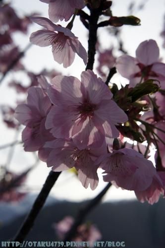 合掌村-櫻花4