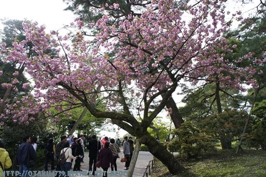兼六園-櫻花1