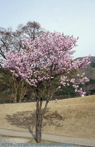 合掌村-櫻花1