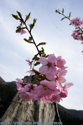 合掌村-櫻花3